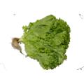 Laitue frisée verte